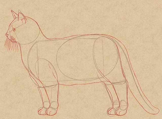 Как нарисовать кошку - Основные черты.