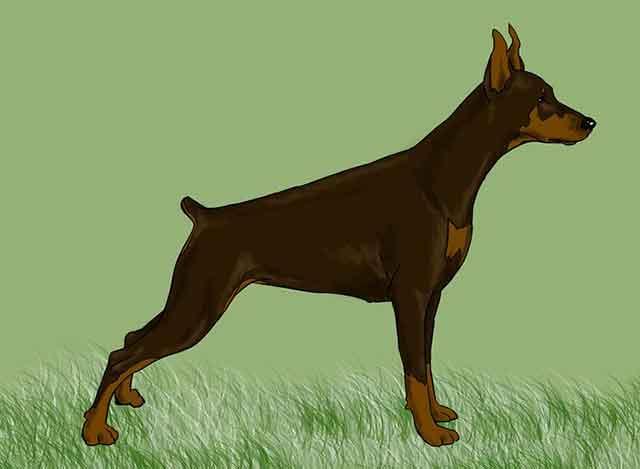 Как нарисовать добермана - Раскрасьте вашу собаку.