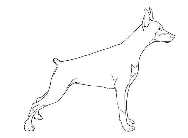 Как нарисовать добермана - Сотрите вспомогательные линии на вашем рисунке и добавьте побольше деталей.