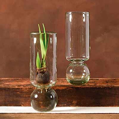 Гиацинты также можно выращивать в воде в луковичной вазе