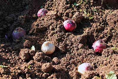 Фиолетовые и белые луковицы гиацинта покоятся на вспаханной бурой почве