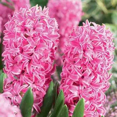 Гиацинт Розовый жемчуг в цвету.