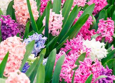 Как вырастить райские гиацинты насыщенного цвета и сладкого аромата