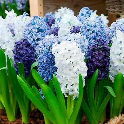 Различные оттенки синего и белого гиацинтов в цвету.
