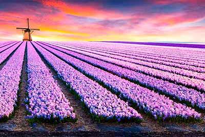 Пурпурные гиацинтовые поля в Голландии