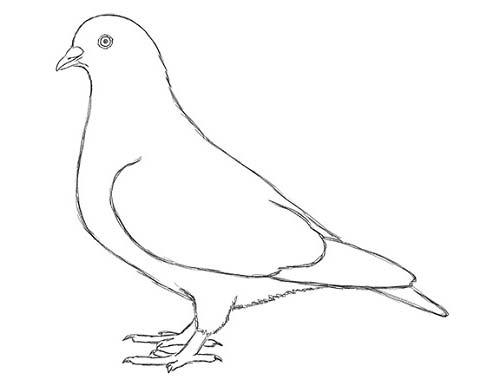 Как нарисовать голубя легко и просто - Шаг 15