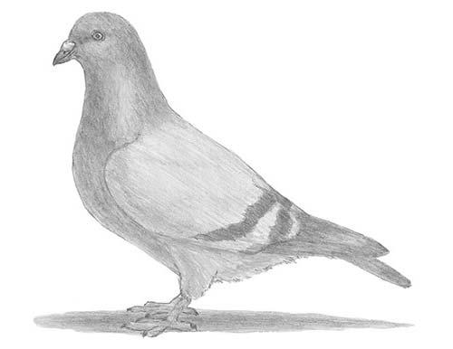 Как нарисовать голубя легко и просто - Шаг 16