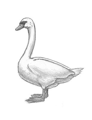Как нарисовать лебедя карандашом - Шаг 16