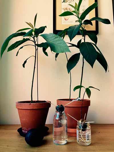 Авокадо выращенное в домашних условиях