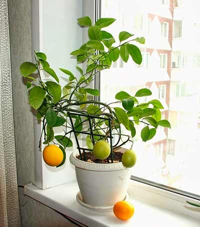 Домашний лимон в домашних условиях
