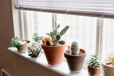 Кактус в домашних условиях