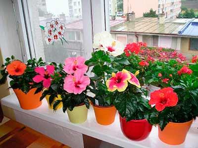 Китайская роза в домашних условиях