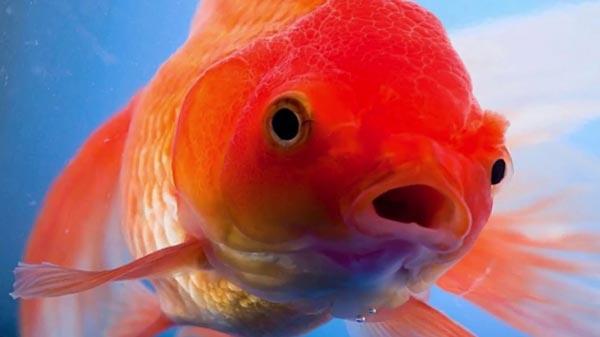 У золотых рыбок трехсекундная память.