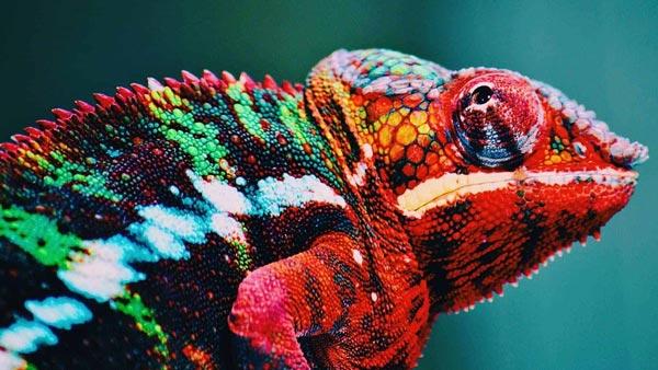 Хамелеоны меняют цвет, чтобы слиться со своим окружением.