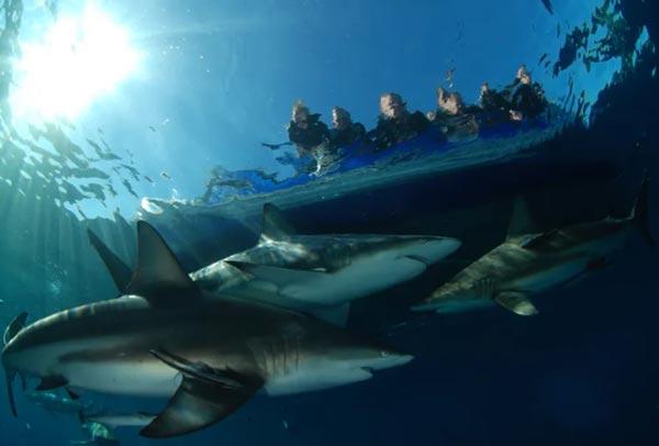 Любители подводного плавания в Южной Африке всматриваются в воду, готовясь впервые поплавать с акулами.