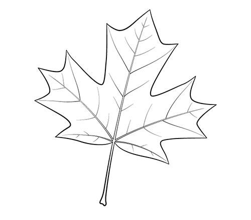 Нарисуйте более мелкие жилки кленового листа и прорисуйте контур