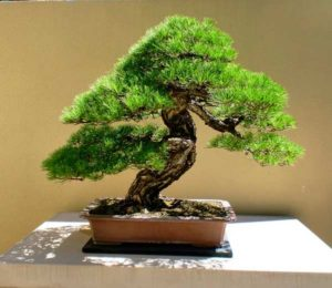 Подарите маме дерево бонсай